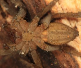 Picture of Dolomedes triton (Six-spotted Fishing Spider) - Ventral
