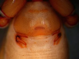 Picture of Dysdera crocata (Woodlouse Hunter) - Female - Genitalia