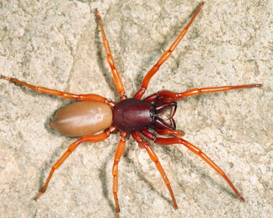 Picture of Dysdera crocata (Woodlouse Hunter) - Female - Dorsal