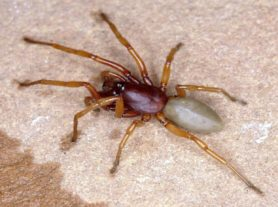 Picture of Dysdera crocata (Woodlouse Hunter) - Male - Dorsal