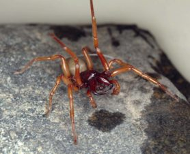 Picture of Dysdera crocata (Woodlouse Hunter) - Male - Eyes