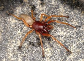 Picture of Dysdera crocata (Woodlouse Hunter) - Male - Dorsal,Eyes