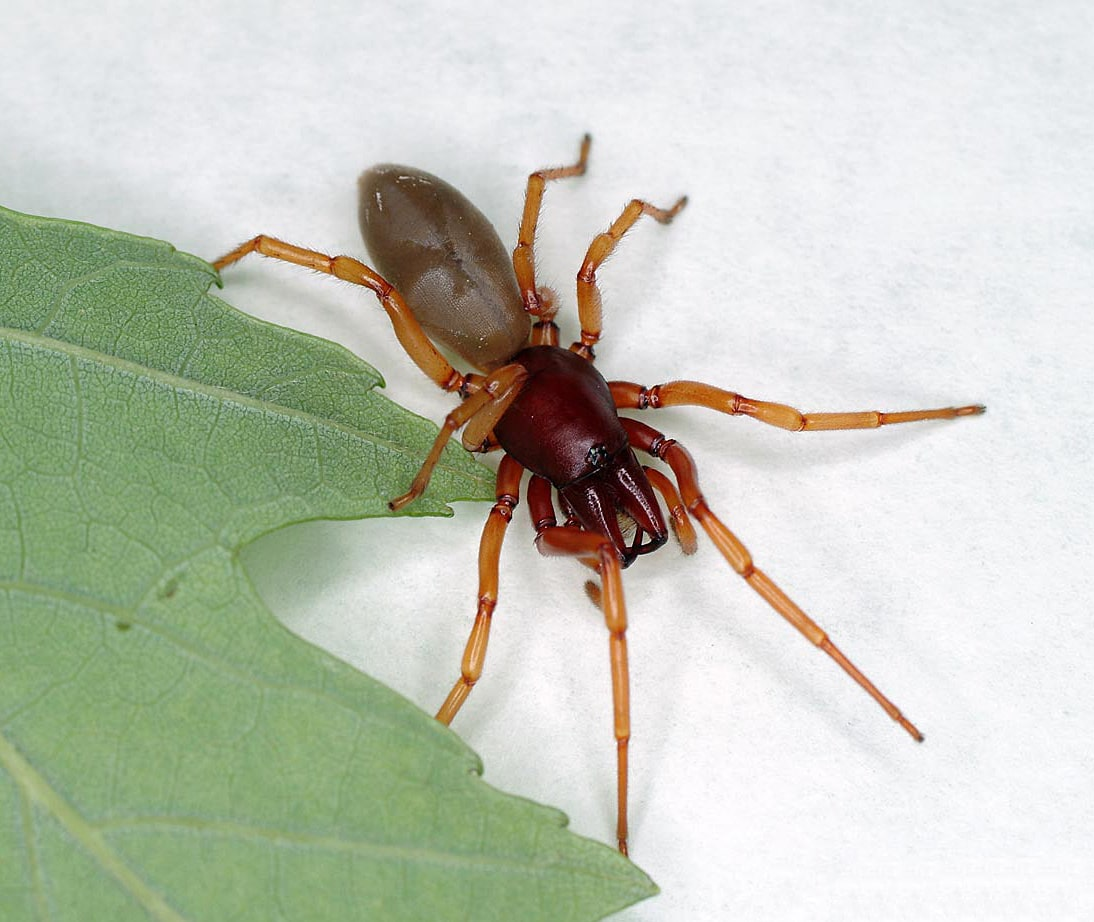 Picture of Dysdera crocata (Woodlouse Hunter) - Female - Dorsal,Eyes