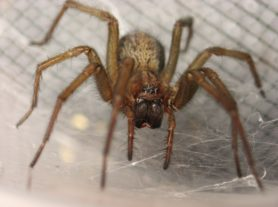 Picture of Eratigena agrestis (Hobo Spider) - Female - Eyes