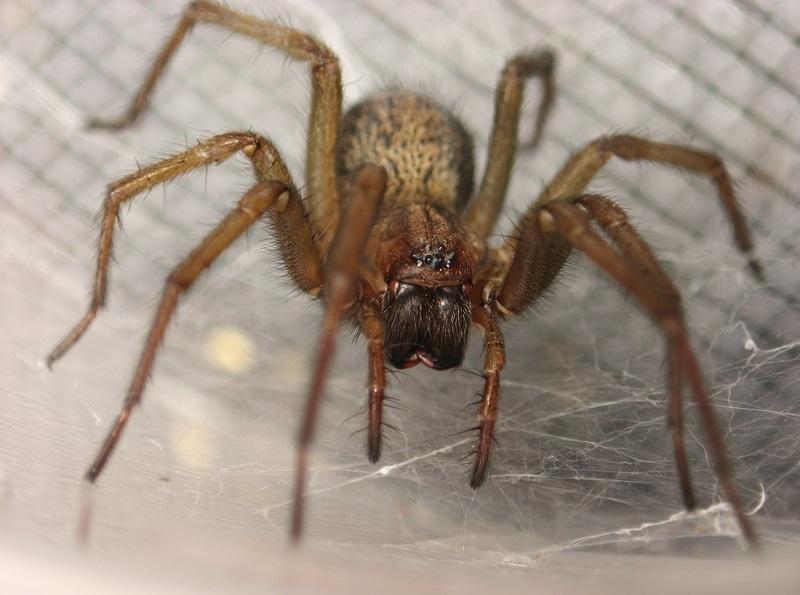 Picture of Eratigena agrestis (Hobo Spider) - Female - Eyes