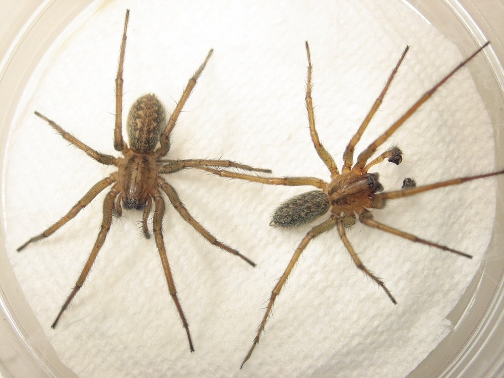 Picture of Eratigena agrestis (Hobo Spider) - Male,Female - Dorsal