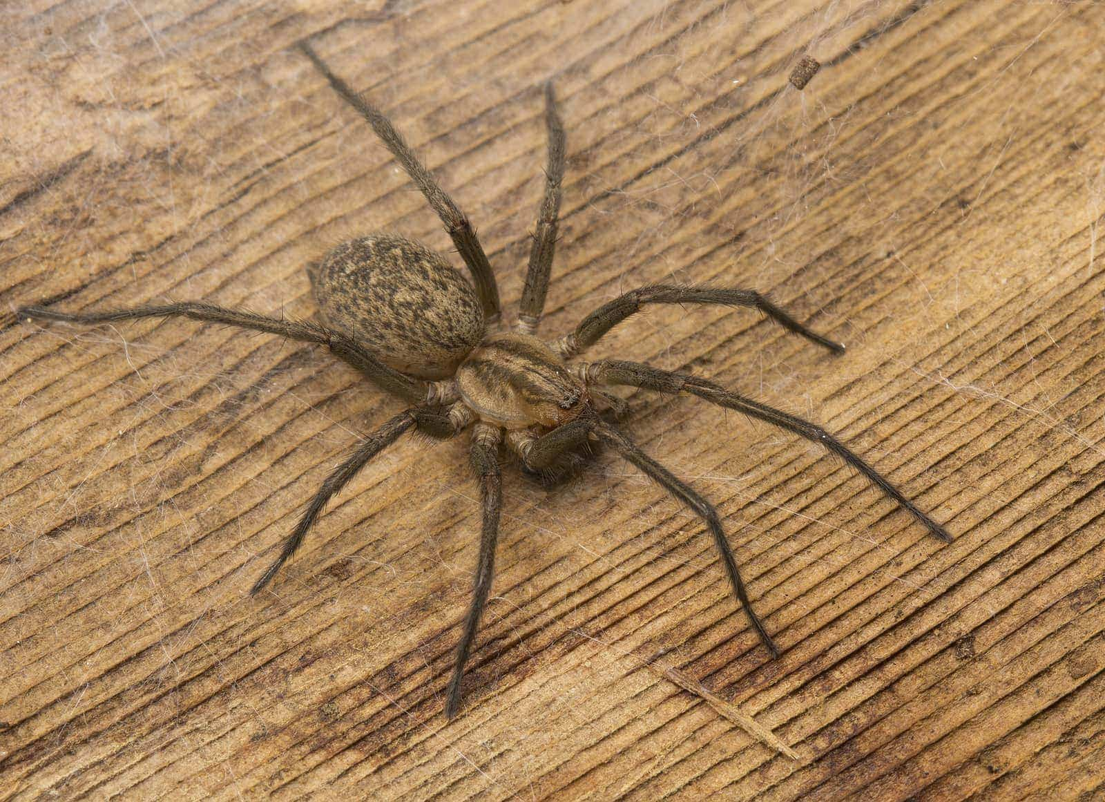 Picture of Eratigena agrestis (Hobo Spider) - Female - Dorsal