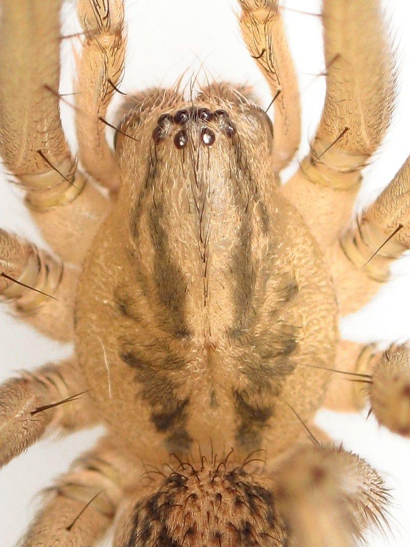 Picture of Eratigena agrestis (Hobo Spider) - Male - Dorsal,Eyes