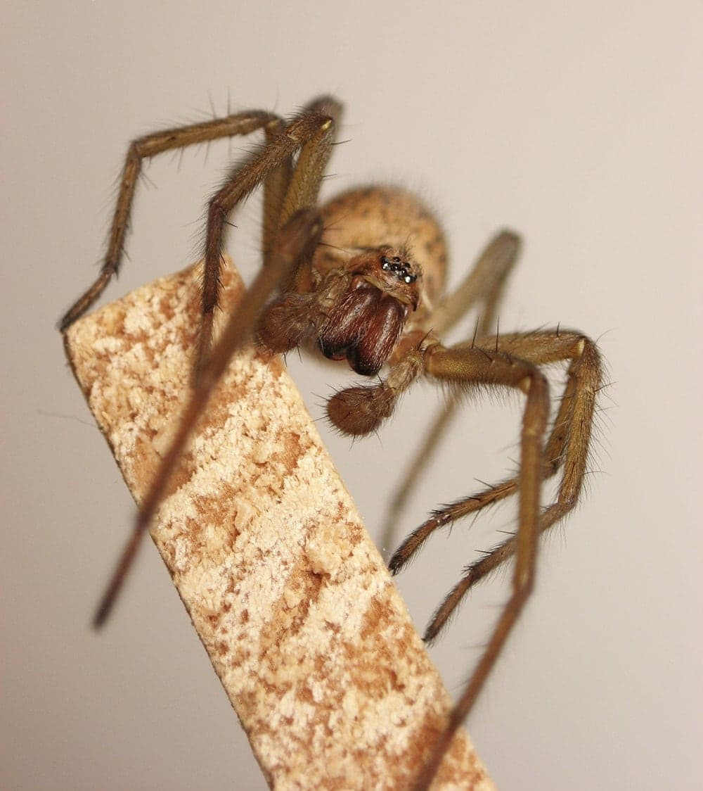 Picture of Eratigena agrestis (Hobo Spider) - Male - Eyes