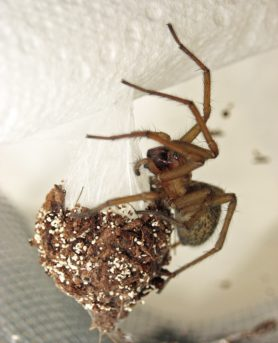 Picture of Eratigena agrestis (Hobo Spider) - Female - Egg Sacs,Lateral