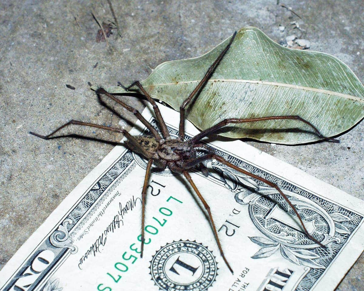 Picture of Eratigena atrica (Giant House Spider) - Male - Lateral