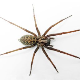 Featured spider picture of Eratigena atrica (Giant House Spider)