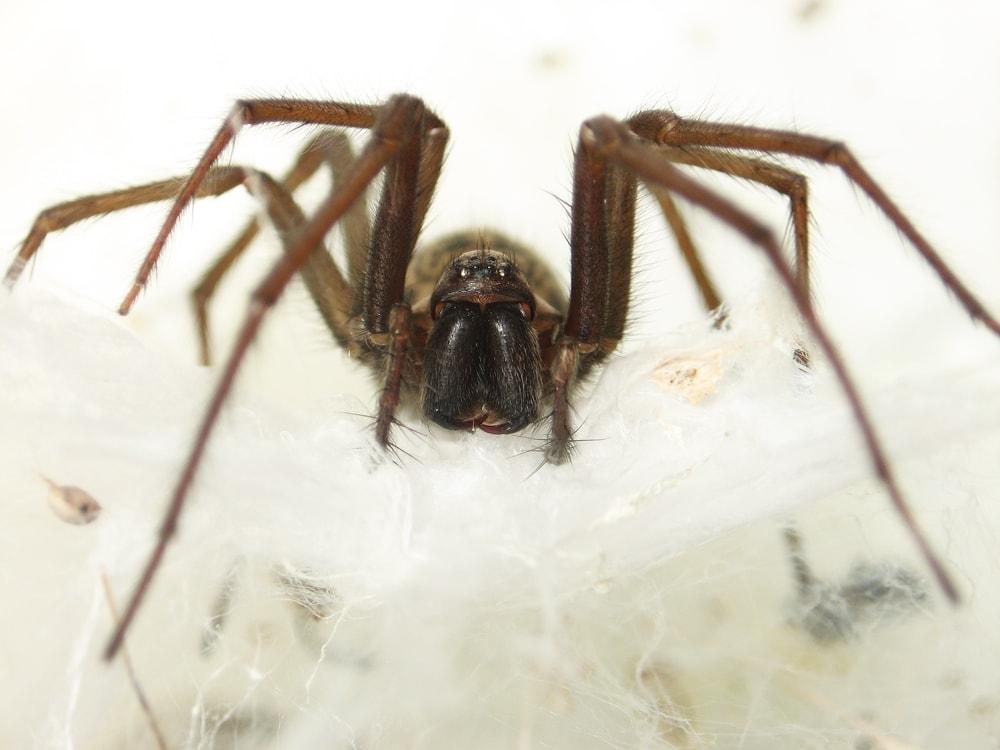 Picture of Eratigena atrica (Giant House Spider) - Female - Eyes