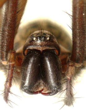 Picture of Eratigena atrica (Giant House Spider) - Female - Eyes