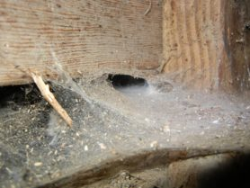 Picture of Eratigena atrica (Giant House Spider) - Webs