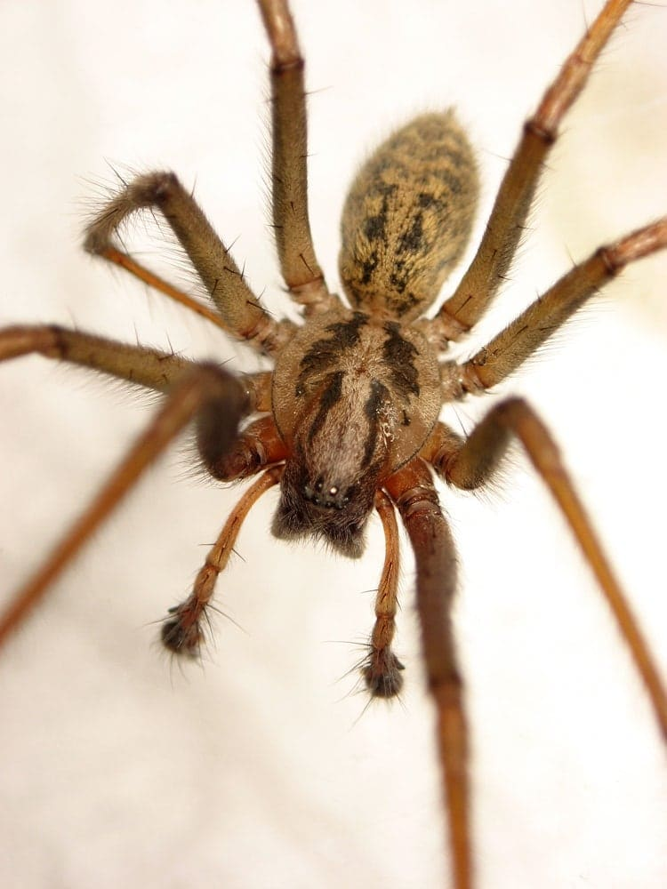 Picture of Eratigena atrica (Giant House Spider) - Male - Dorsal,Eyes