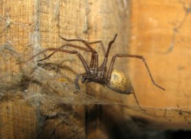 Picture of Eratigena atrica (Giant House Spider) - Female - Lateral,Webs