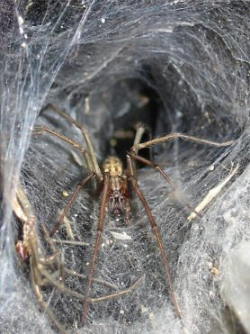 Picture of Eratigena atrica (Giant House Spider) - Male - Eyes,Webs