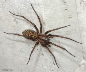Picture of Eratigena atrica (Giant House Spider) - Female - Dorsal