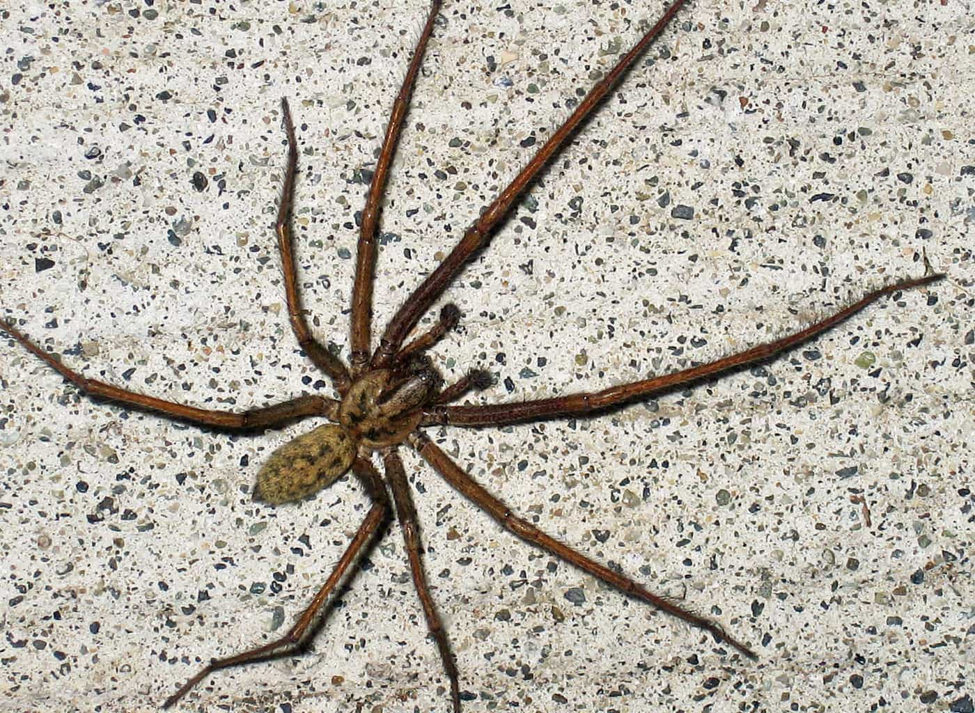 Picture of Eratigena atrica (Giant House Spider) - Male - Dorsal