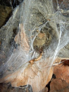 Picture of Eratigena atrica (Giant House Spider) - Female - Eyes,Webs