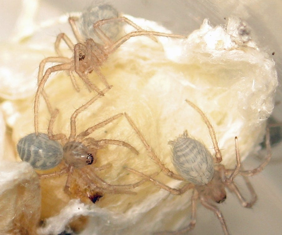 Picture of Eratigena atrica (Giant House Spider) - Dorsal,Eyes,Spiderlings