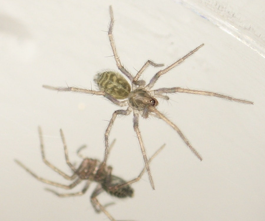 Picture of Eratigena atrica (Giant House Spider) - Dorsal,Spiderlings