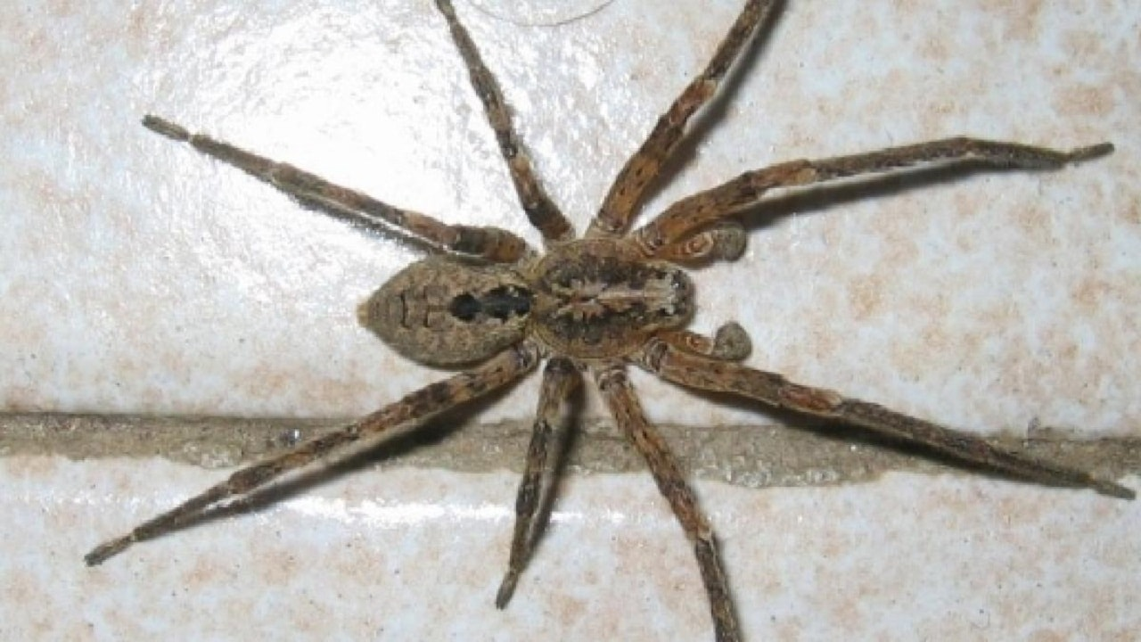 Picture of Zoropsis - Male - Dorsal