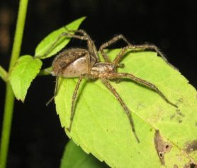 Picture of Agelenopsis spp. (Grass Spiders) - Female - Lateral