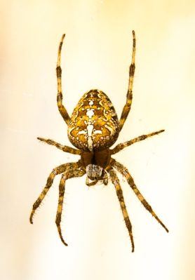 Picture of Araneus diadematus (Cross Orb-weaver) - Female - Dorsal