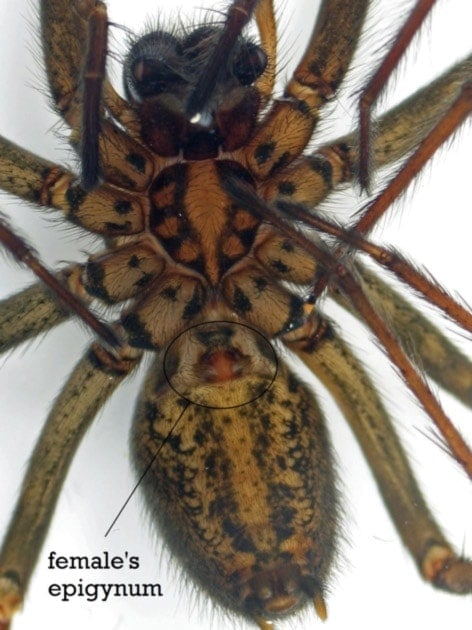 Female spider's epigynum