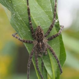 Featured spider picture of Dolomedes scriptus (Striped Fishing Spider)