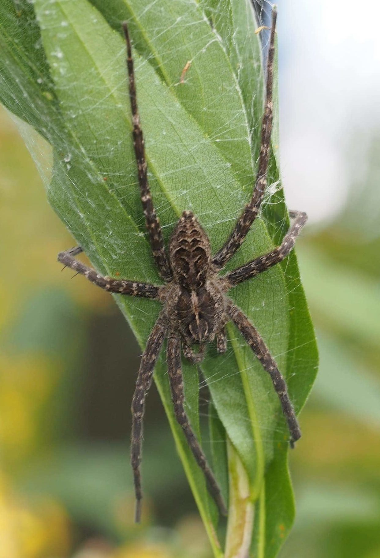 Picture of Dolomedes scriptus (Striped Fishing Spider) - Female - Dorsal