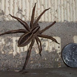 Featured spider picture of Rabidosa rabida (Rabid Wolf Spider)