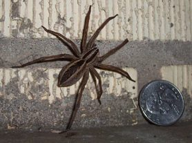 Picture of Rabidosa rabida (Rabid Wolf Spider) - Female - Dorsal