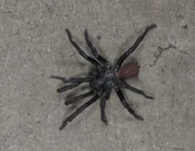 Picture of Bothriocyrtum californicum (California Trapdoor Spider) - Male - Dorsal