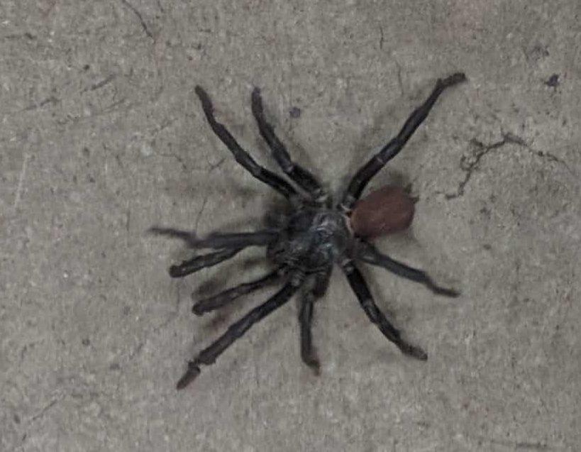 Picture of Bothriocyrtum californicum (California Trapdoor Spider) - Male - Dorsal