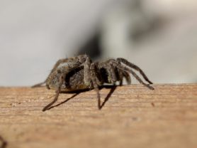 Picture of Pardosa spp. (Thin-legged Wolf Spiders) - Lateral