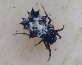 Picture of Micrathena gracilis (Spined Micrathena) - Dorsal