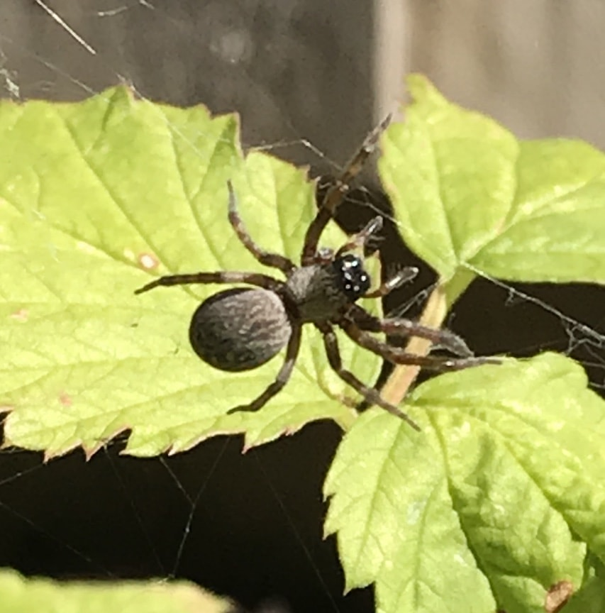 Picture of Badumna - Dorsal,Webs