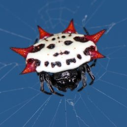 Featured spider picture of Gasteracantha cancriformis (Spiny-backed Orb-weaver)