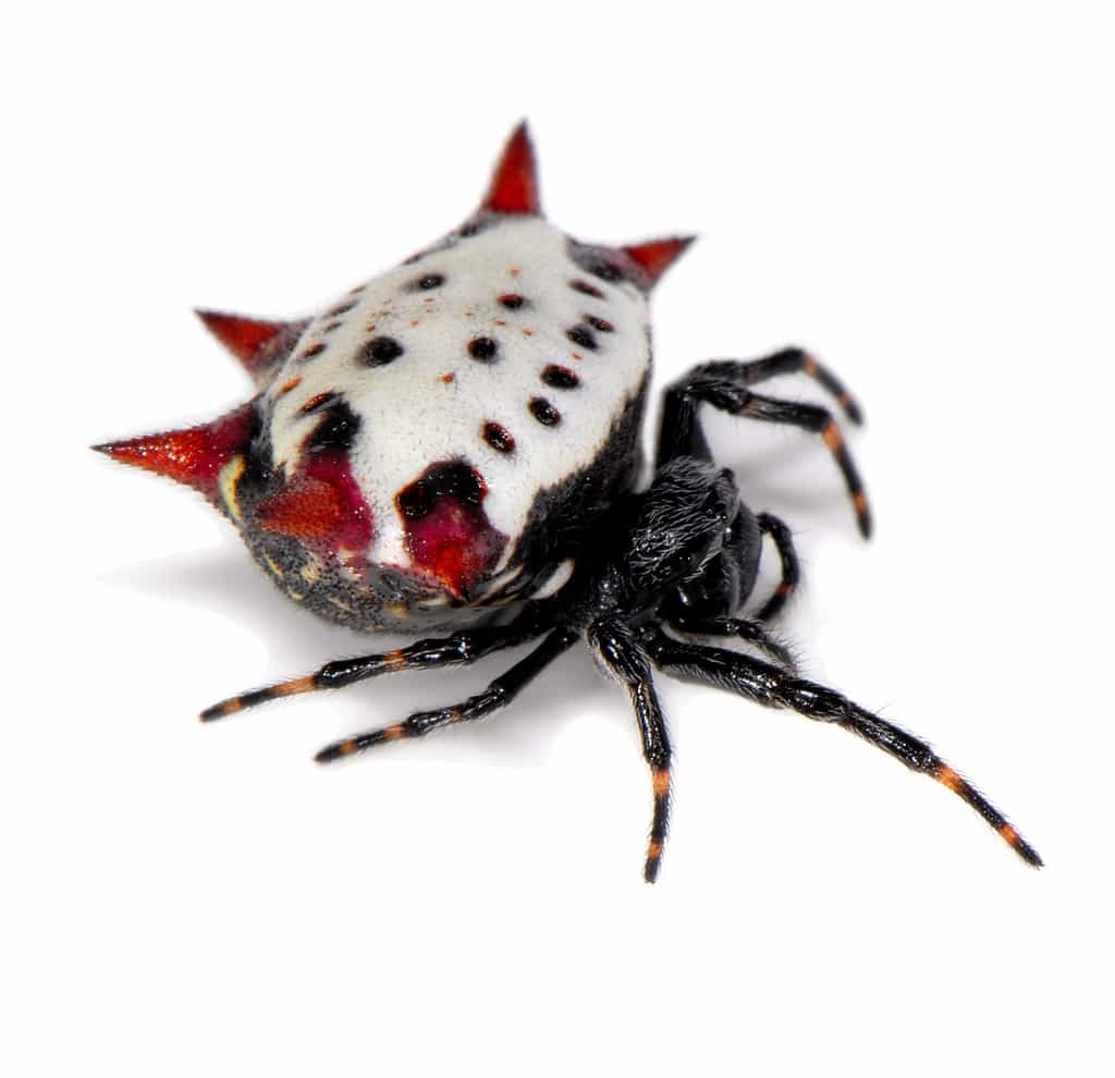 Picture of Gasteracantha cancriformis (Spiny-backed Orb-weaver) - Female - Lateral