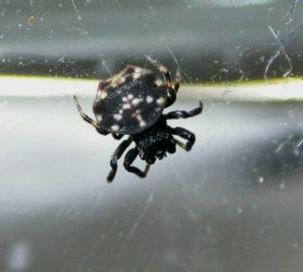 Picture of Gasteracantha cancriformis (Spiny-backed Orb-weaver) - Male - Dorsal