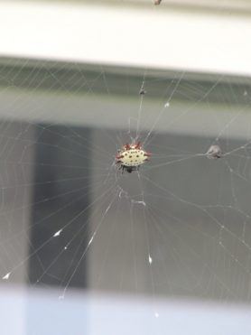 Picture of Gasteracantha cancriformis (Spiny-backed Orb-weaver) - Female - Dorsal,Webs