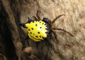 Picture of Gasteracantha cancriformis (Spiny-backed Orb-weaver) - Female - Dorsal