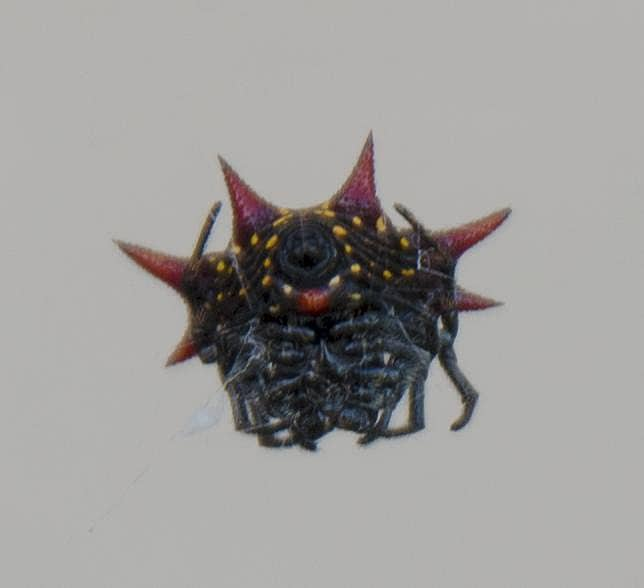 Picture of Gasteracantha cancriformis (Spiny-backed Orb-weaver) - Female - Ventral