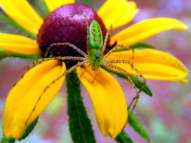 Picture of Peucetia viridans (Green Lynx Spider) - Female - Dorsal,Eyes