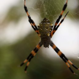 Featured spider picture of Argiope appensa (Hawaiian Garden Spider)
