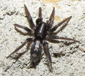 Picture of Herpyllus ecclesiasticus (Eastern Parson Spider) - Female - Dorsal