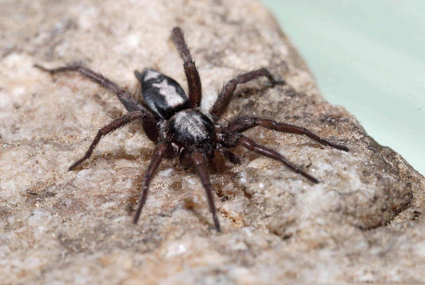 Picture of Herpyllus ecclesiasticus (Eastern Parson Spider) - Male - Dorsal,Eyes